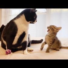 先輩猫にお気に入りのおもちゃを取られた時の子猫の反応【保護猫】