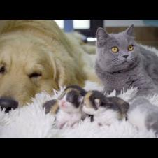 猫の赤ちゃんを自分の子供だと思っているゴールデンレトリバー・ずっと猫の赤ちゃんを守るゴールデンレトリバー