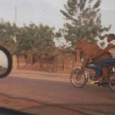 소가 오토바이를 타고가네