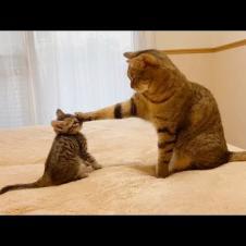 """""""遊んで!""""としつこい子猫を片手で止める先輩猫【保護猫】"""