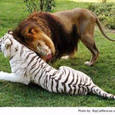 사자와 백호